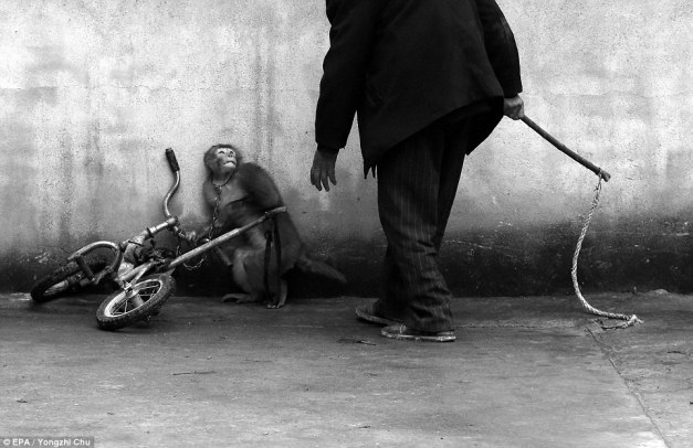Monkey_Training_for_a_Circus_by_Chinese_photographer_Yongzhi_Chu